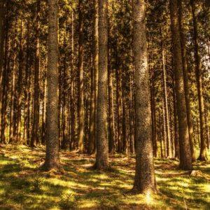 hooldatud metsamaa