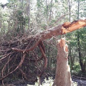 juurepessist murtud puu